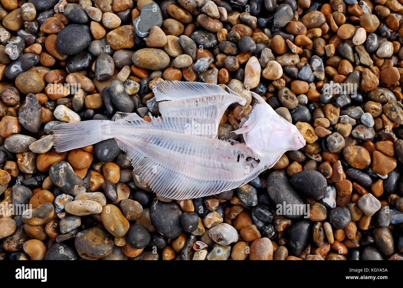 A gutted and filleted Plaice flatfish left on Brighton beach for the seagulls - Stock Image