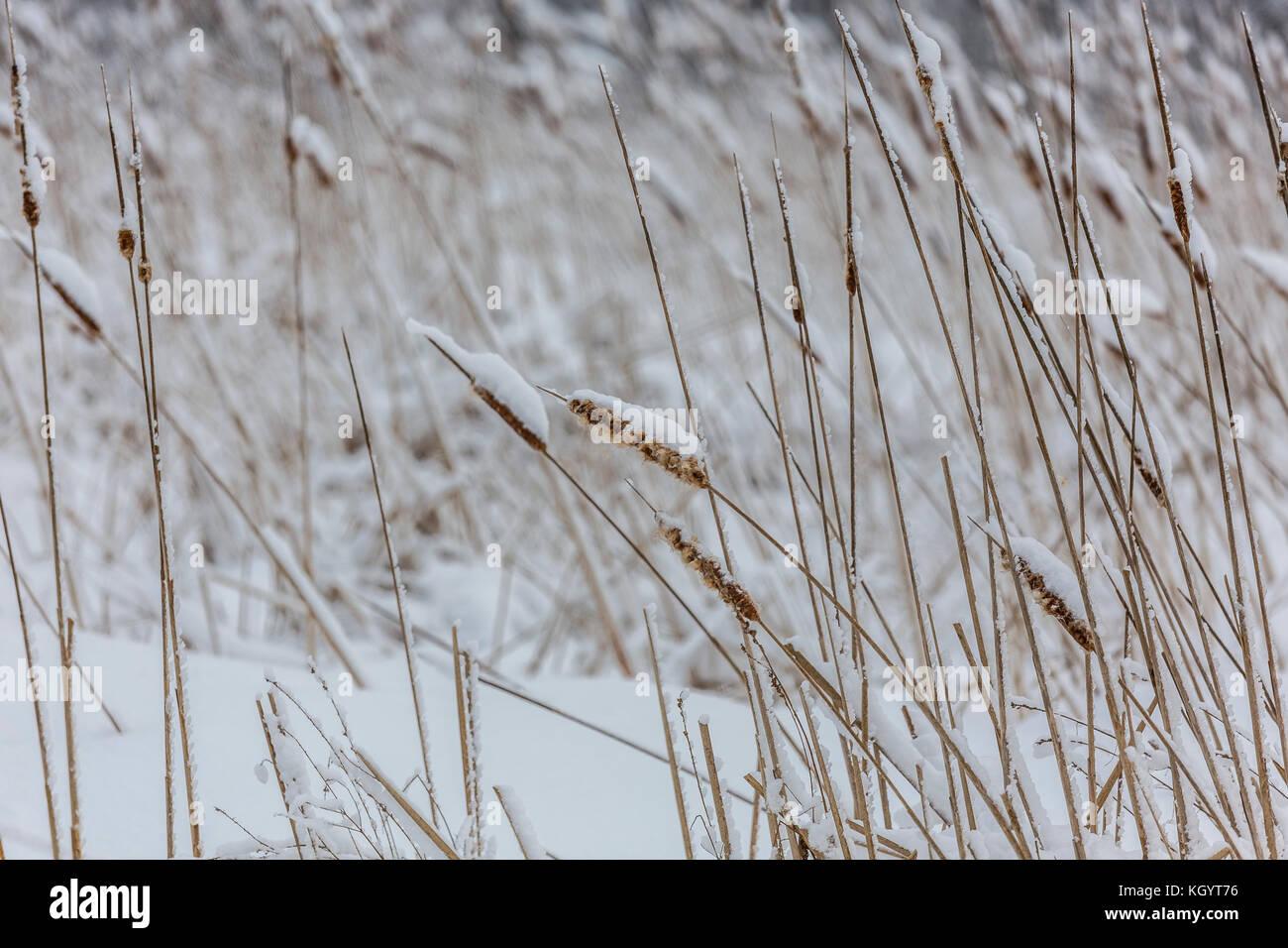 Winter Bull Rushes - Stock Image