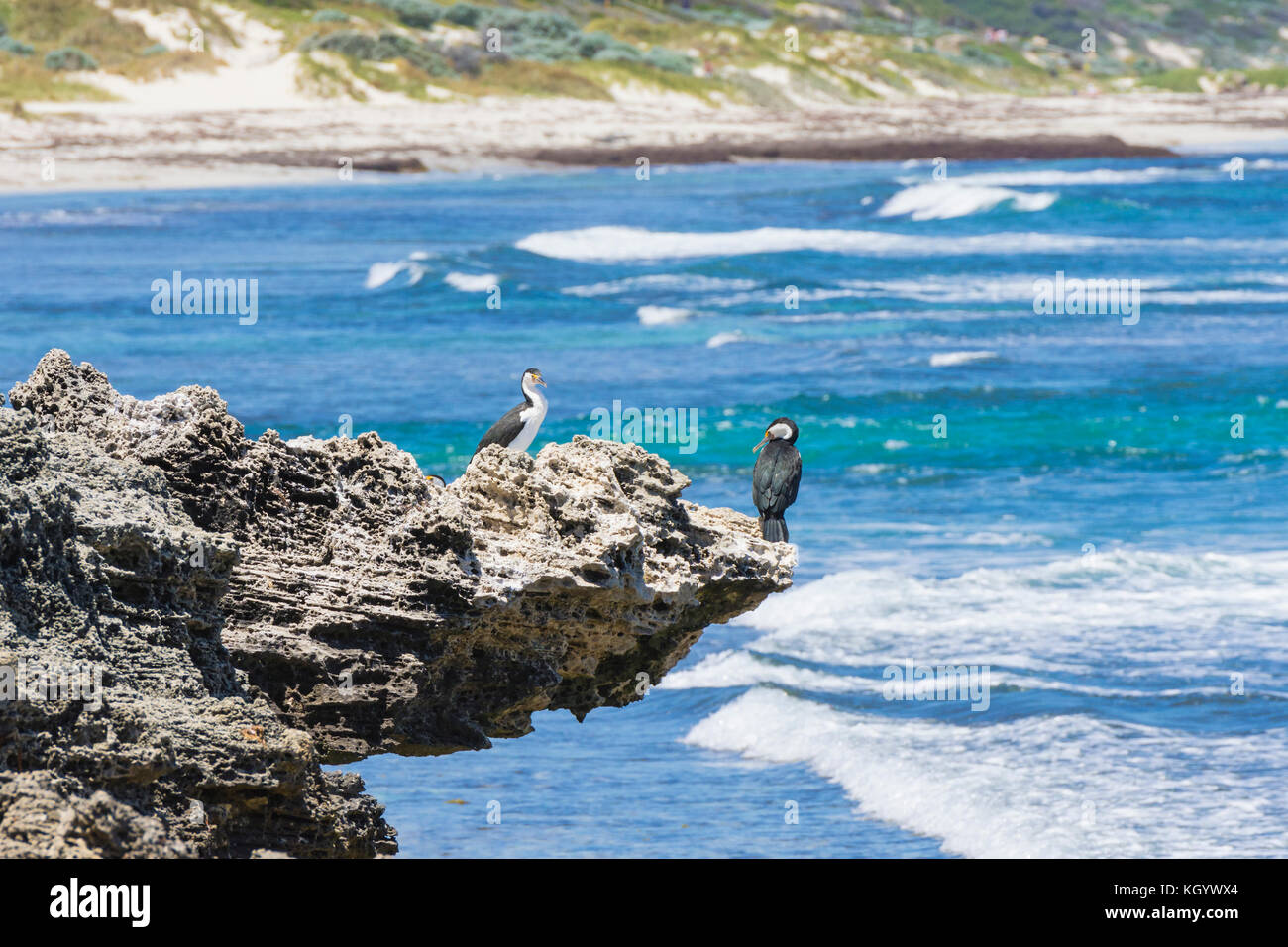 Australian Pied Cormorants perched on a limestone outcrop over the Indian Ocean, Cottesloe, Perth, Western Australia - Stock Image