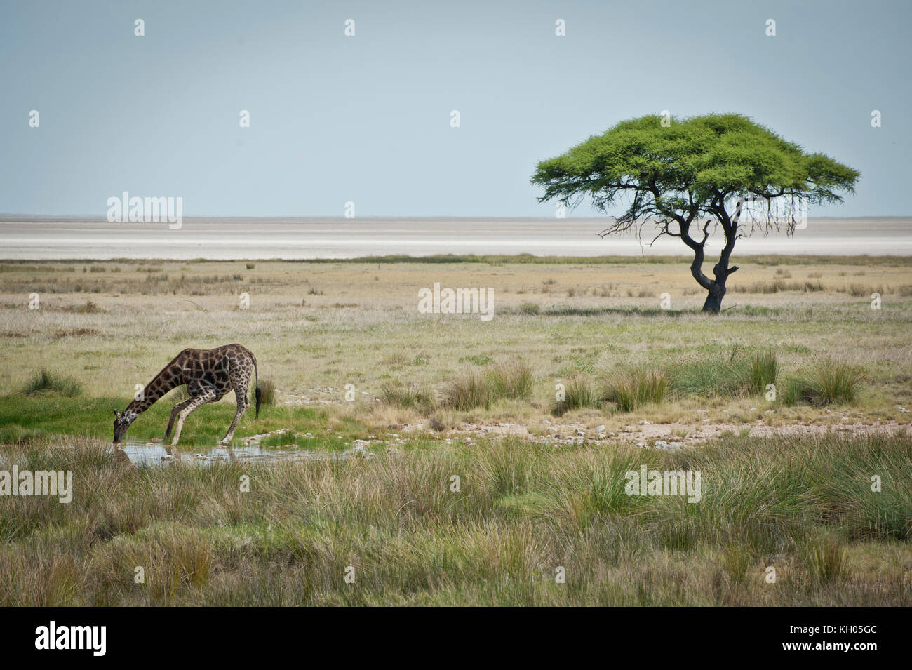 A giraffe drinking water in Etosha National Park, Namibia, March 2013. - Stock Image