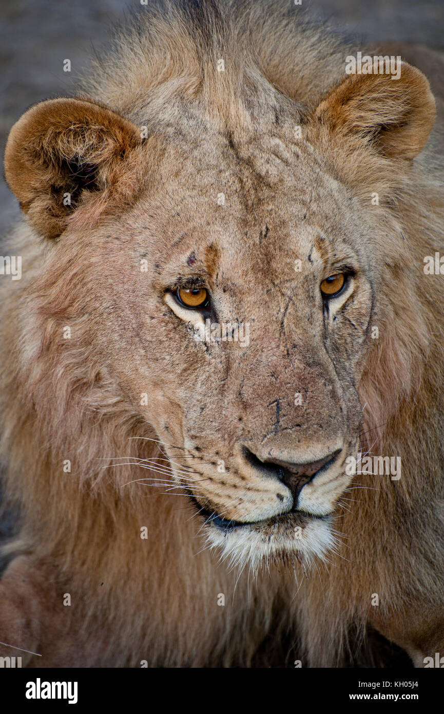 Portrait of a lion in Etosha National Park, Namibia, March 2013. - Stock Image