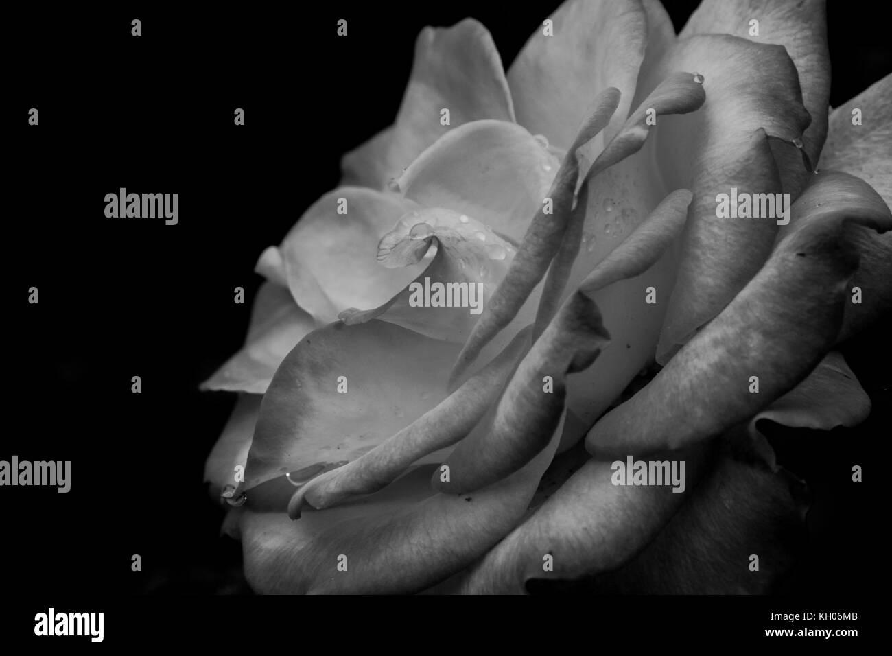 #2 White Rose - Stock Image
