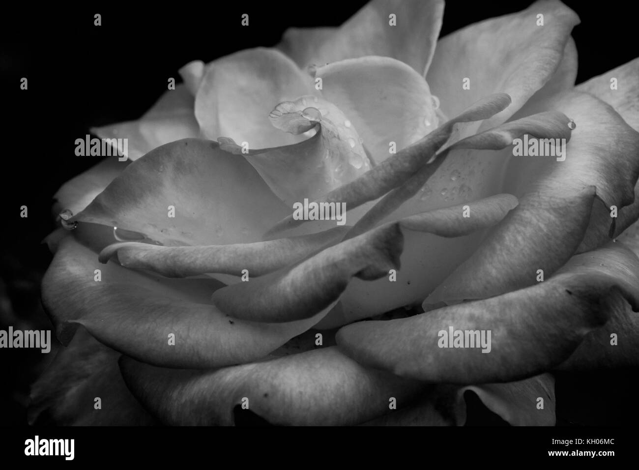 #3 White Rose - Stock Image