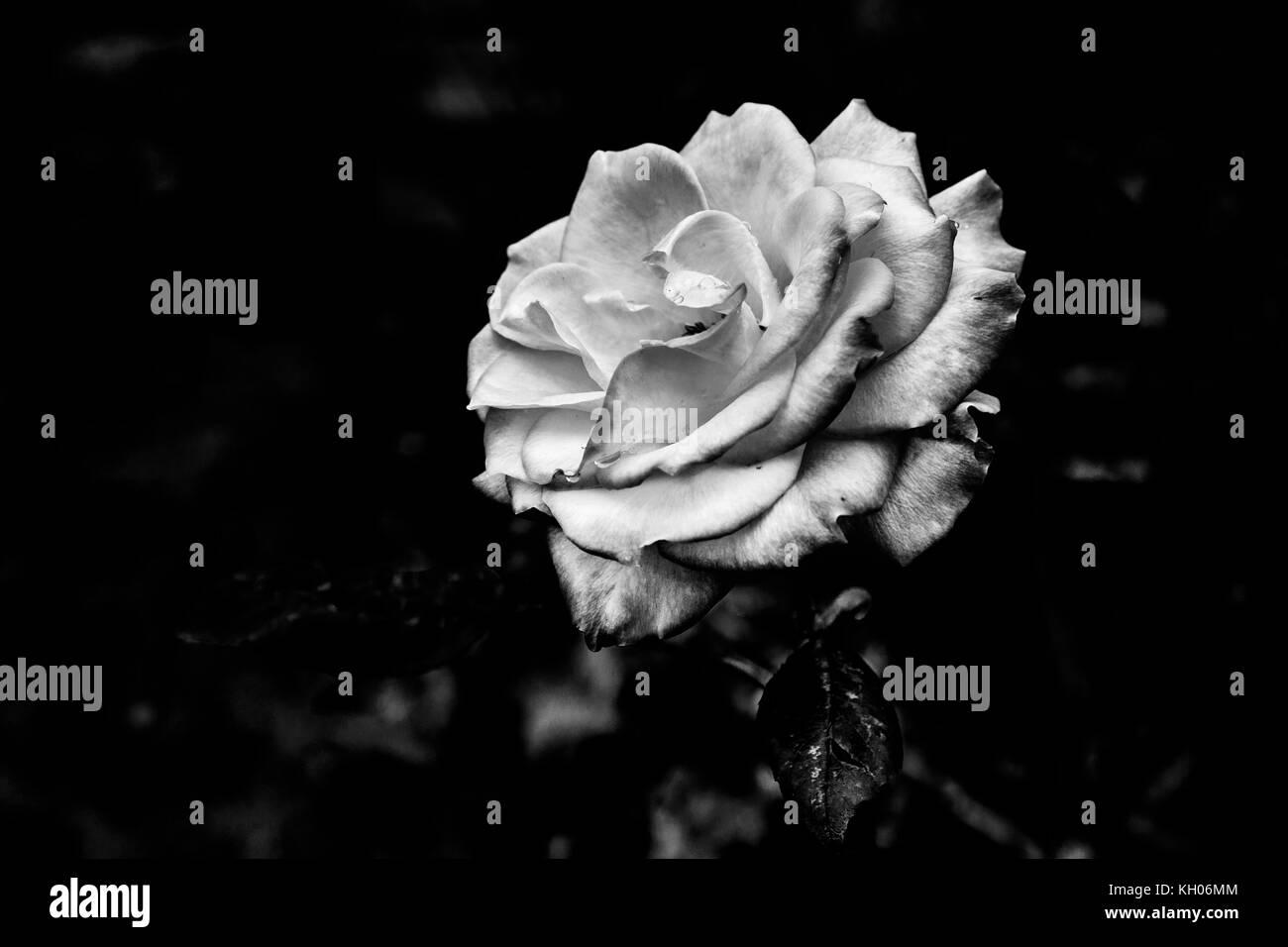 #2 Rose - Stock Image