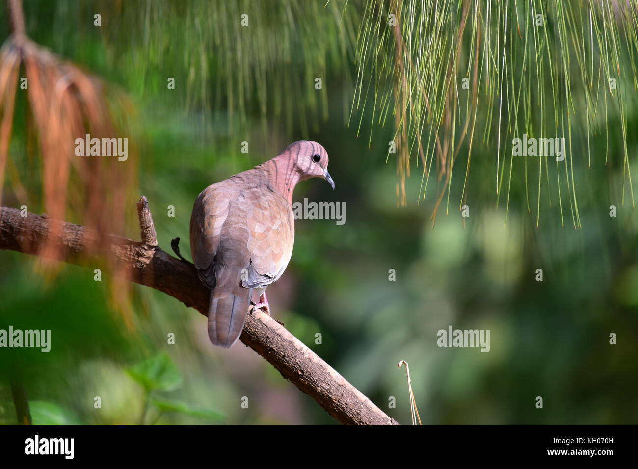 The Laughing Dove or Spilopelia senegalensis perched on a Pine Tree branch. - Stock Image
