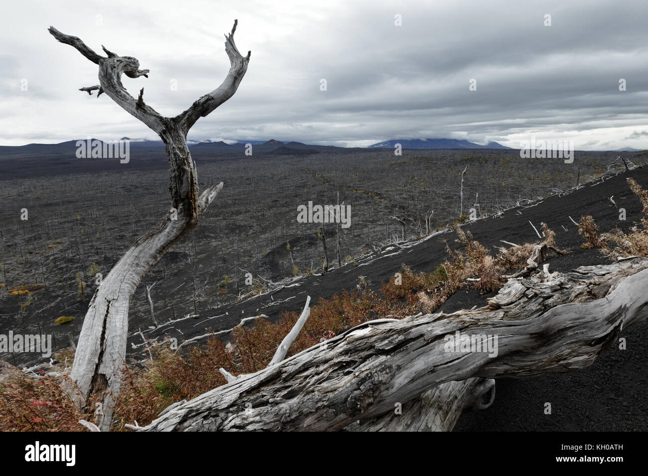 Volcano landscape on Kamchatka Peninsula: Dead Forest - consequence of natural disaster - catastrophic eruptions - Stock Image