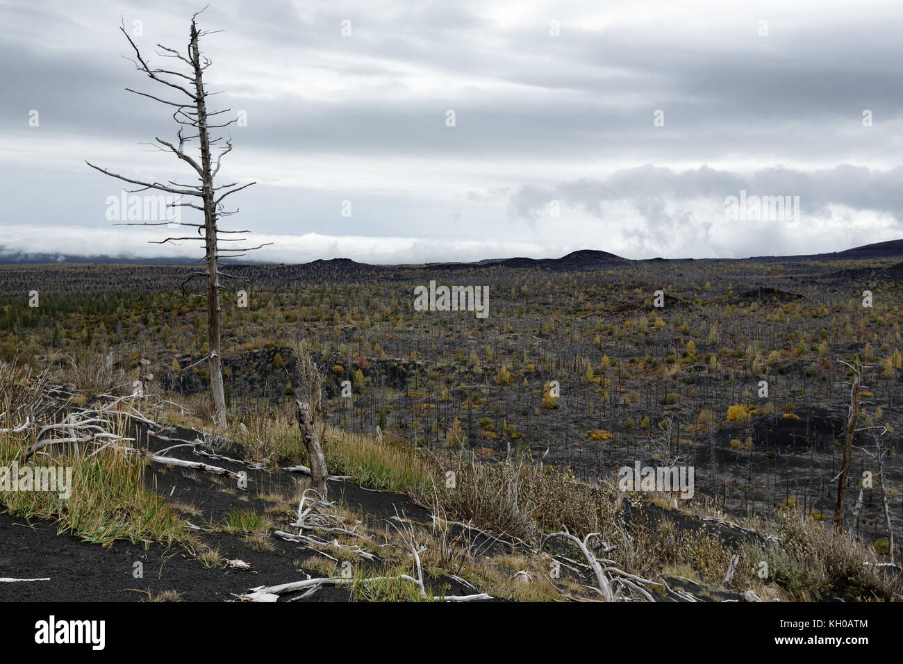 Volcano landscape: Dead Forest (Dead Wood) on Kamchatka Peninsula - consequence of natural disaster - catastrophic - Stock Image