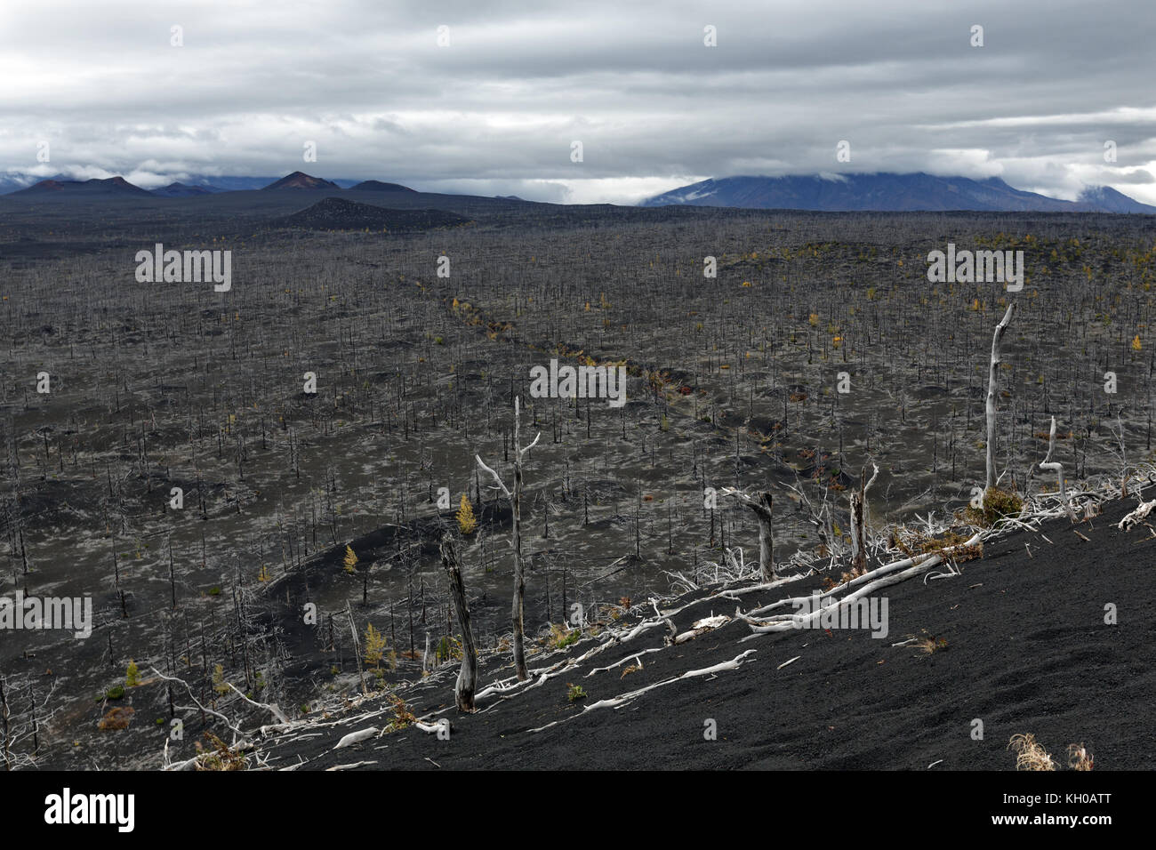 Volcanic landscape: Dead Forest (Dead Wood) on Kamchatka Peninsula - consequence of natural disaster - eruptions - Stock Image