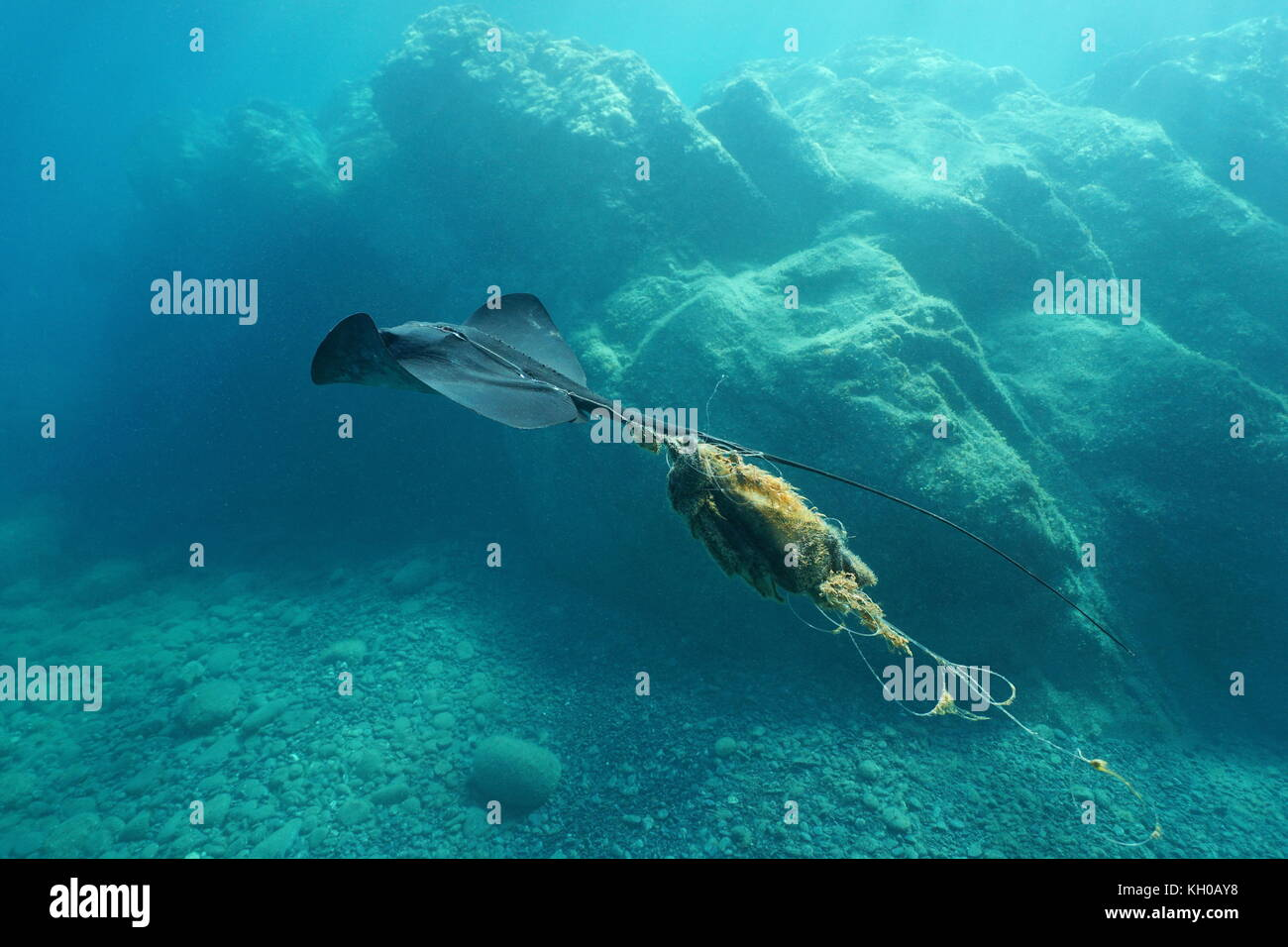 A stingray swims underwater injured and tangled by a fishing line, Mediterranean sea, Costa Brava, Catalonia, Spain - Stock Image