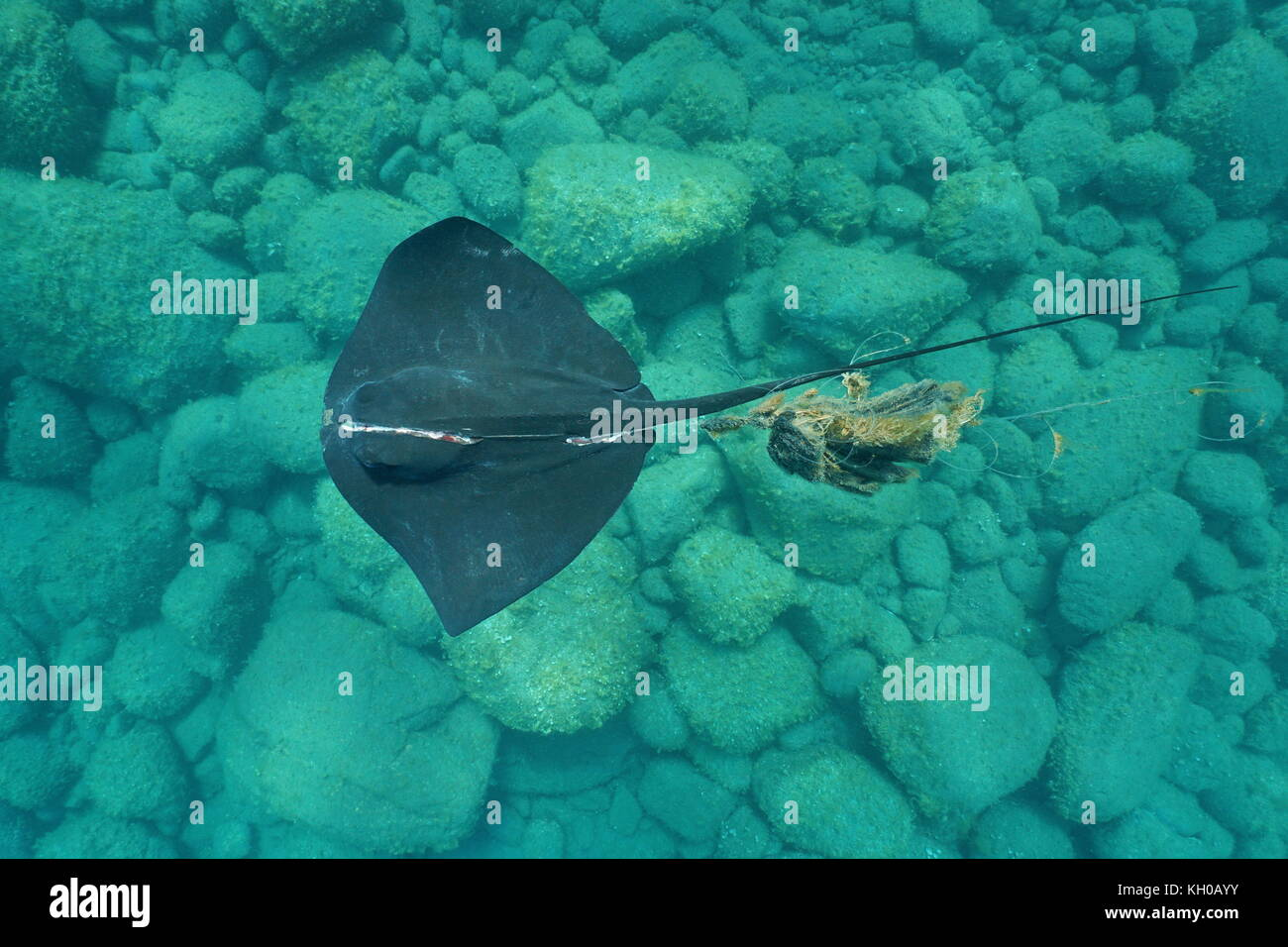 Underwater a common stingray, Dasyatis pastinaca, with a severe injury, tangled in a fishing line, seen from above, - Stock Image