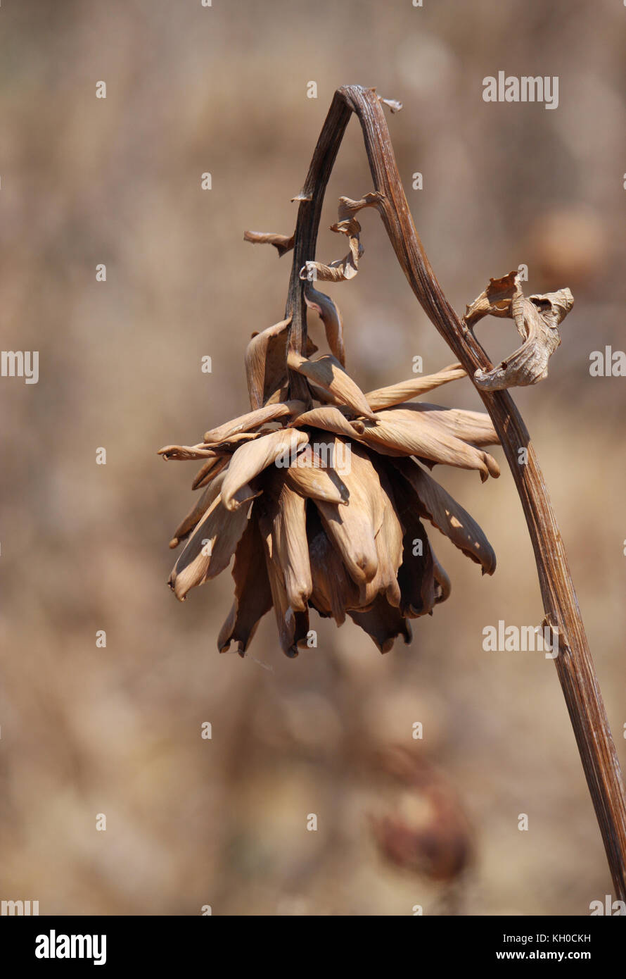 Dried plant during heat wave in Greece - Stock Image