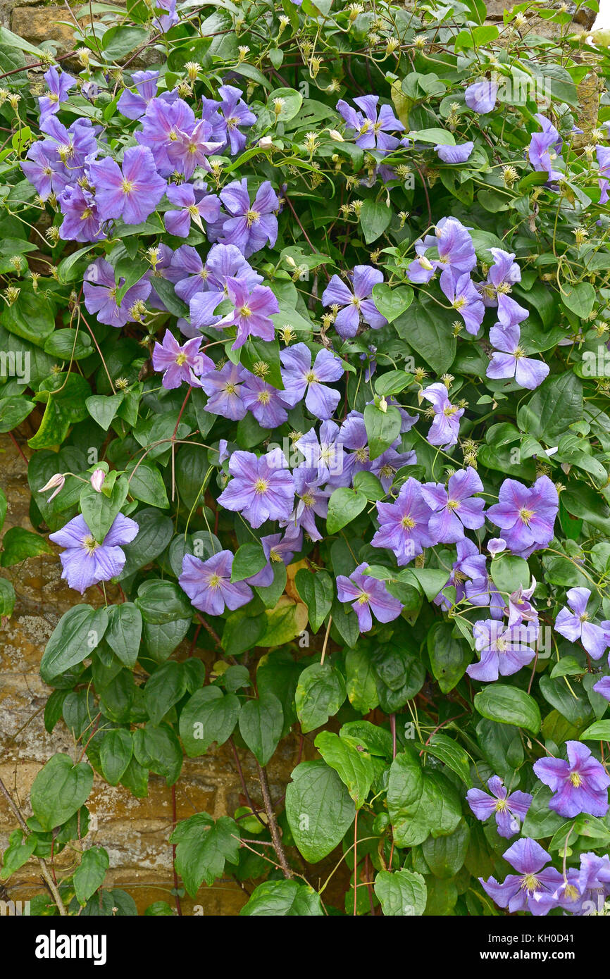 Close up of a climbing Clematis x Jackmanii in a country garden - Stock Image
