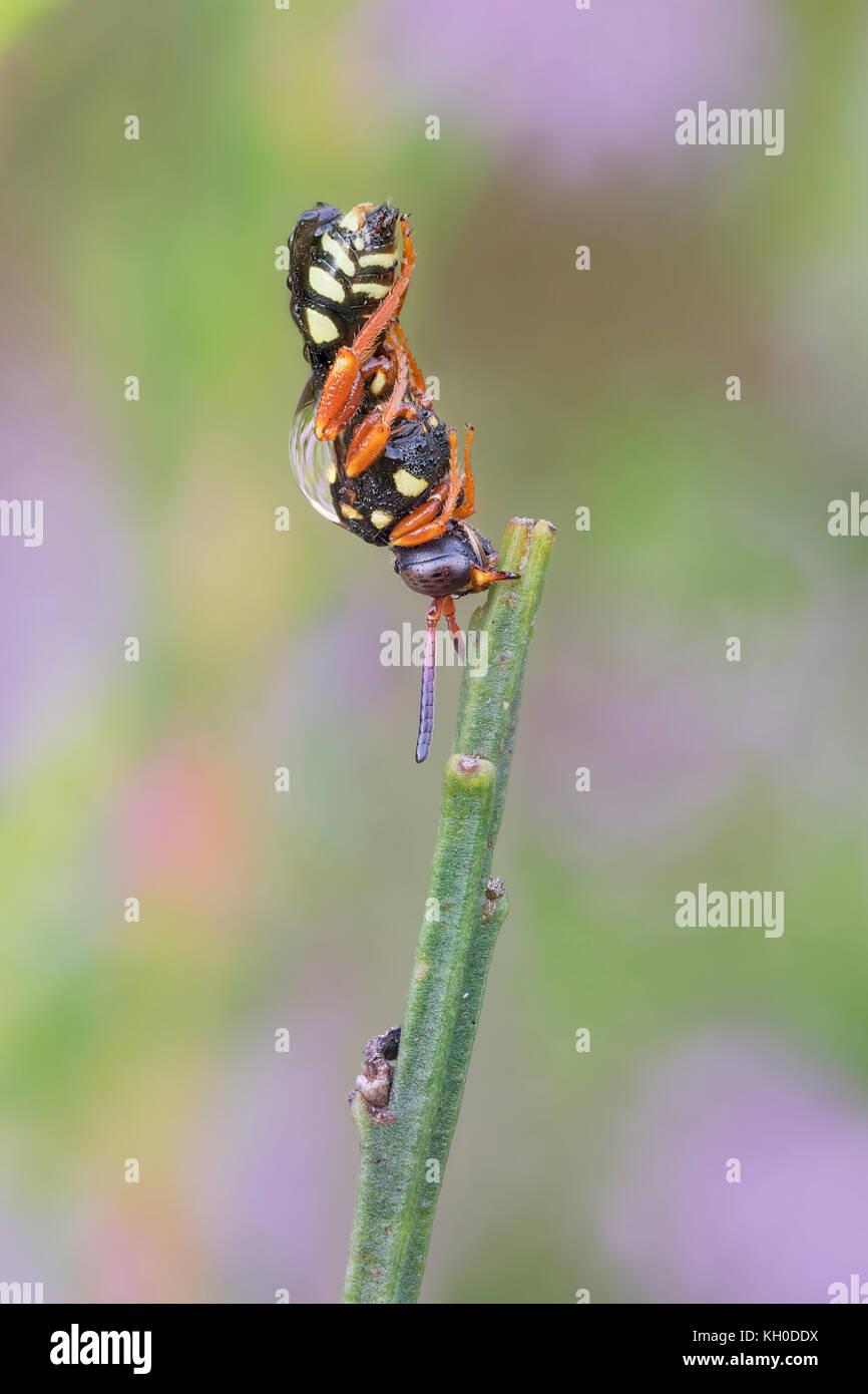 Filzbiene oder Wespenbiene, Nomada Bee, Epeolus, Variegated Cuckoo-Bees - Stock Image