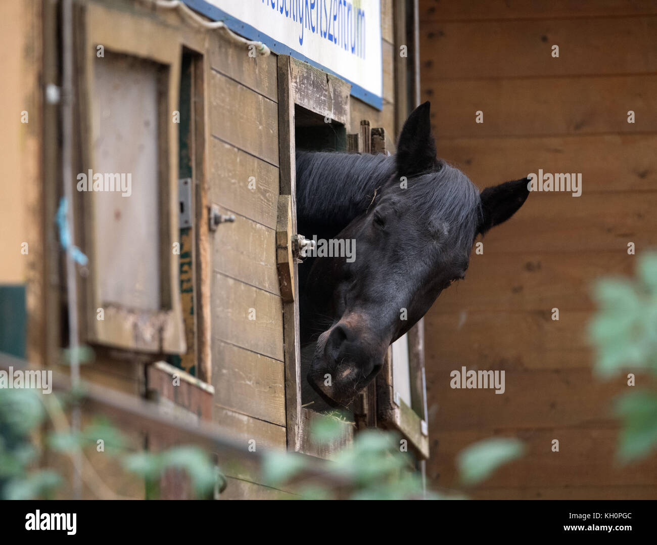 Berlin, Germany. 09th Nov, 2017. A horse sticking its head out of the stable's window at the versatility center - Stock Image
