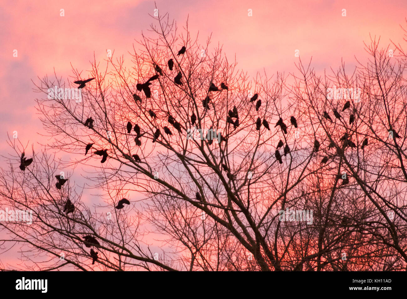 Rufford, Lancashire. UK. Weather. 13/11/2017. Cold Start to the day. Thrang of Crows' seek the higher boughs to Stock Photo