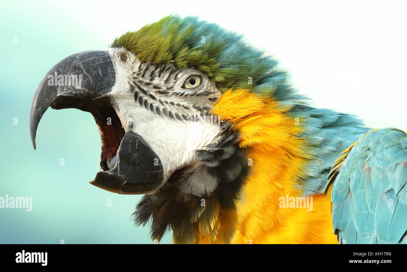 A Macaw calling loudly to its mate. - Stock Image