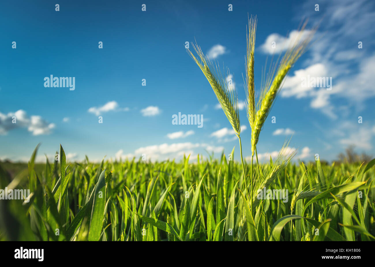 Green wheat field against blue sky - Stock Image