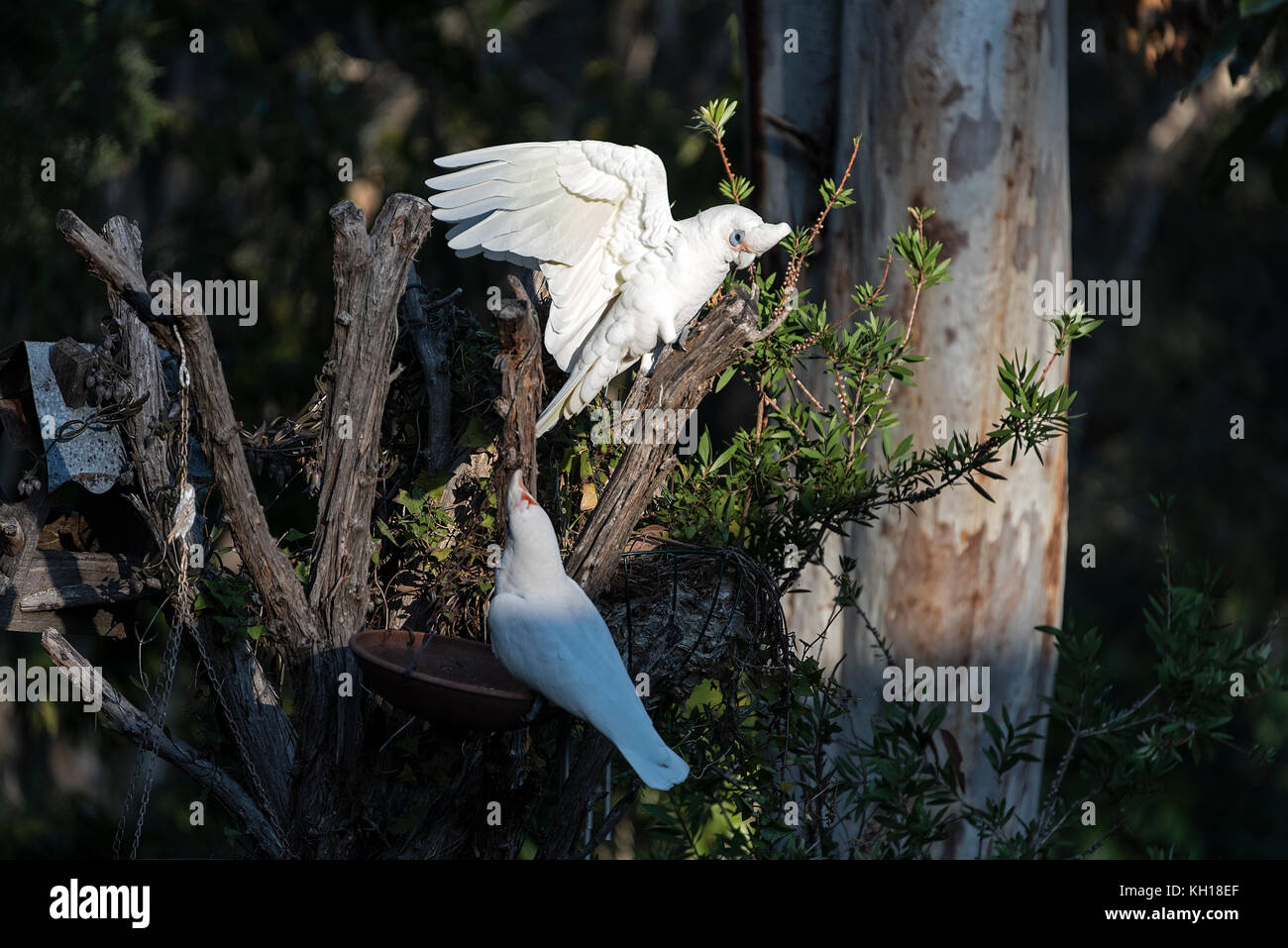 A pair of  Little Corellas feeding in a residential garden on the Sunshine Coast, Queensland, Australia - Stock Image