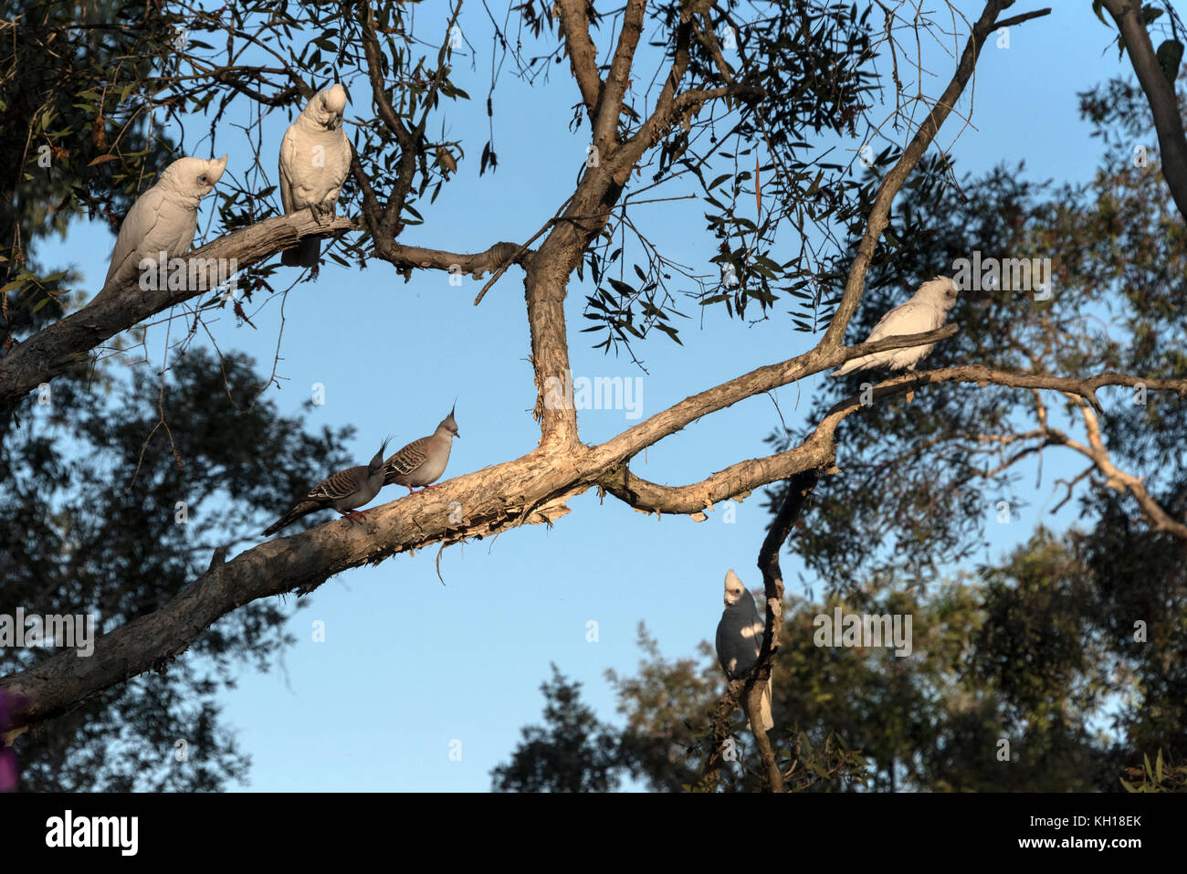 Little Corellas and a Crested Pigeons in the Sunshine Coast, Queensland, Australia Stock Photo