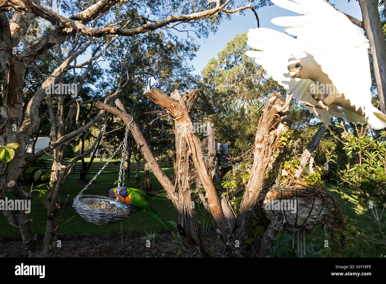 A Rainbow Lorikeet feeding whilst a Little Corella just landed on a tree stump in a residential garden on the Sunshine - Stock Image