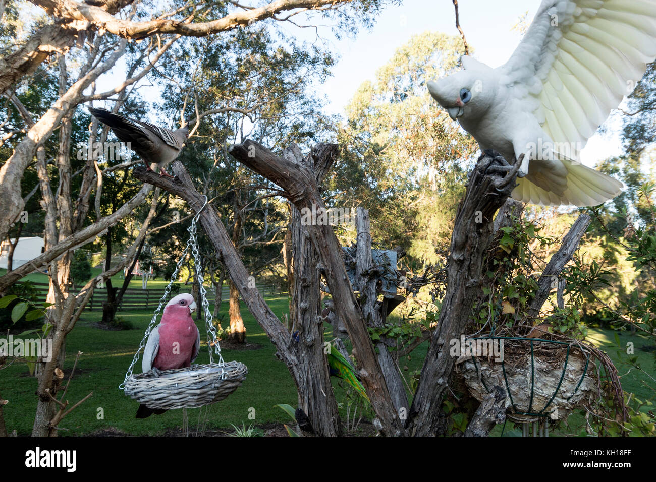 A Galah feeding whilst a Little Corella just landed on a tree stump in a residential garden on the Sunshine Coast, Stock Photo