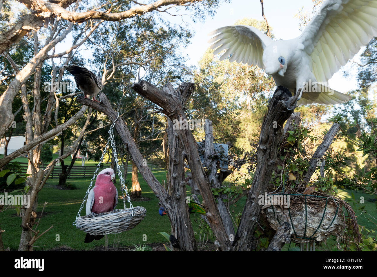 A Galah feeding whilst a Little Corella just landed on a tree stump in a residential garden on the Sunshine Coast, - Stock Image