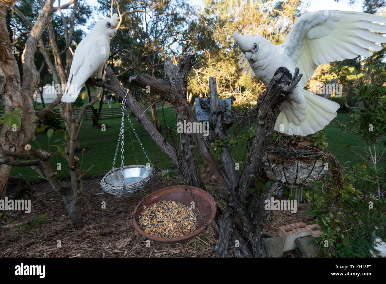 A pair of  Little Corellas on a tree stump in a residential garden on the Sunshine Coast, Queensland, Australia - Stock Image
