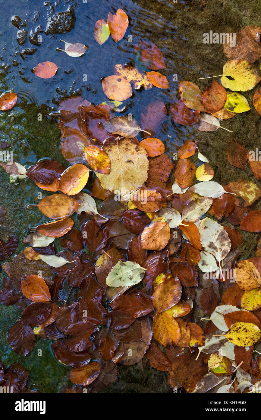 Autumn silver birch leaves floating on water pattern. UK - Stock Image