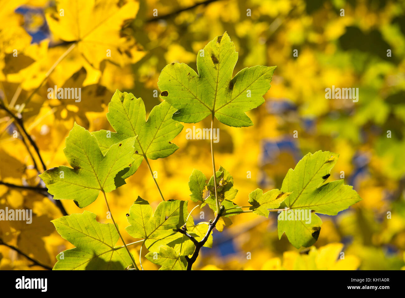 Natural autumn textures: Bright yellow colored Maple or Sycamore leaves lit by sunlight. - Stock Image