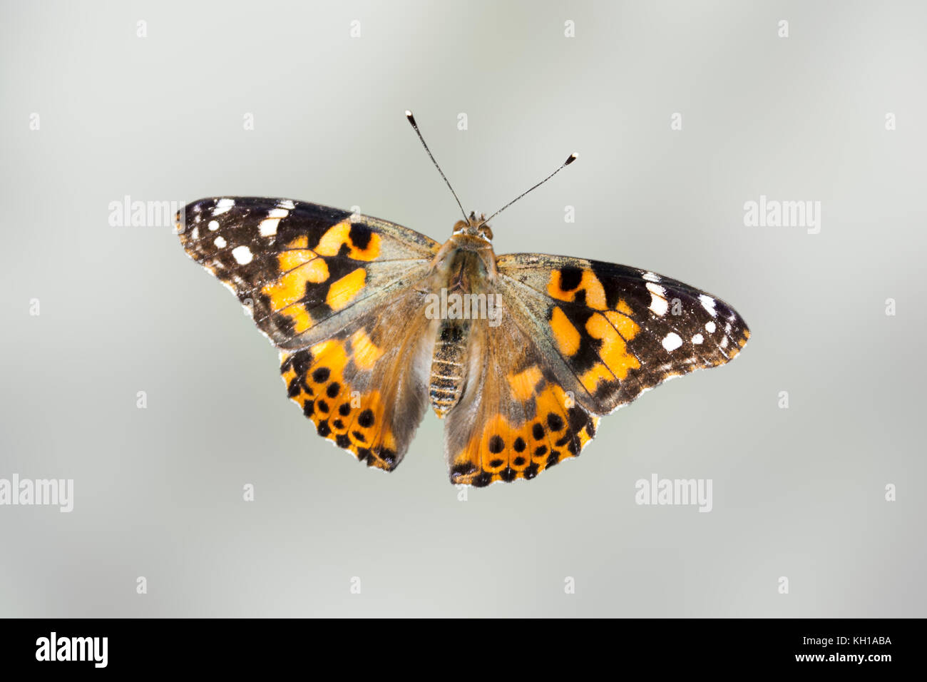 Close-up of Painted Lady butterfly (cardui vanessa) against a blurred grey-green background Stock Photo
