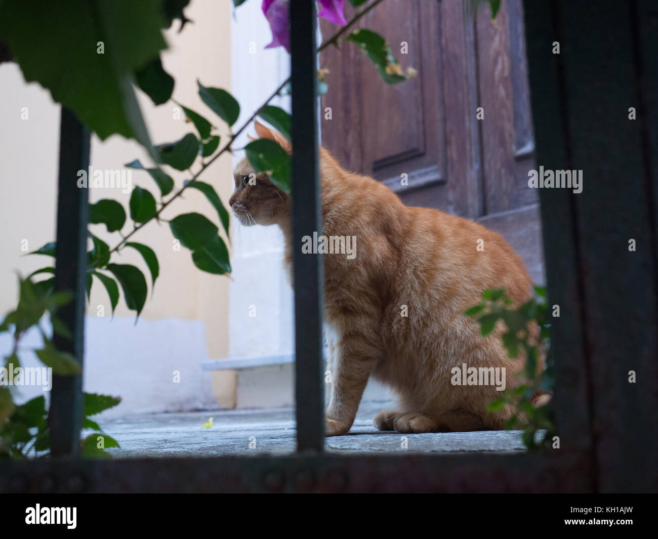 Curious Ginger Cat in Cinque Terre Italy - Stock Image