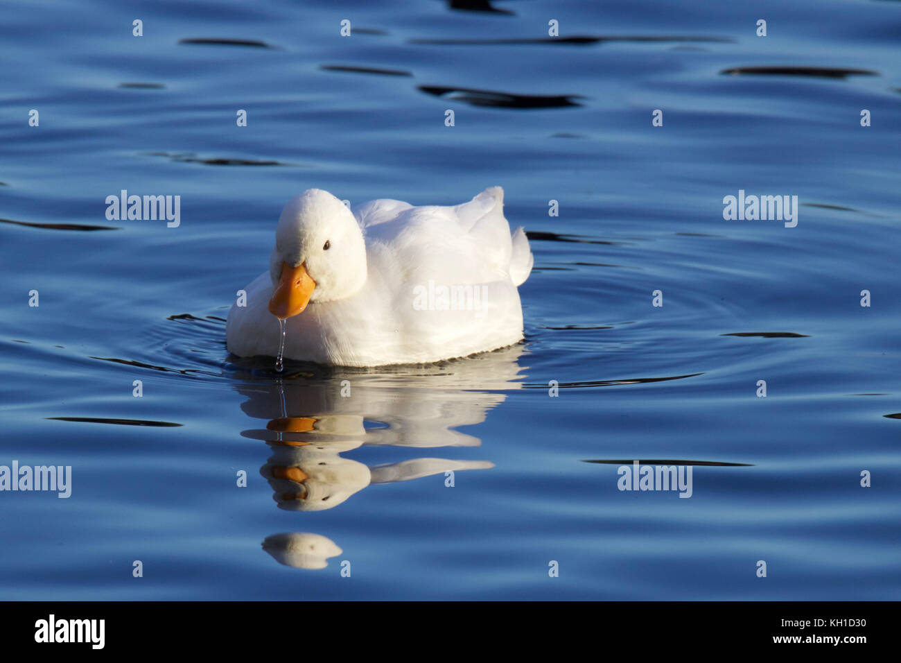 Little white duck swimming on blue water - Stock Image