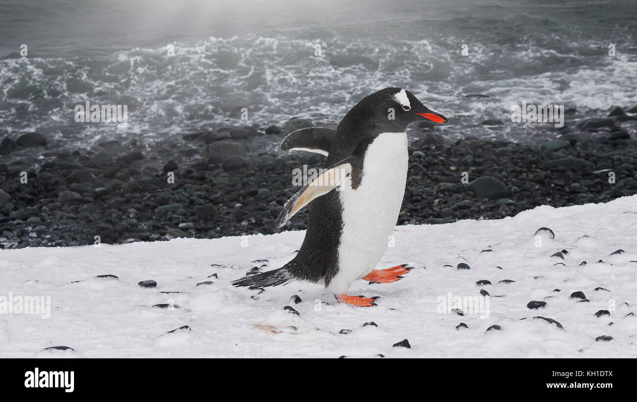 A southern gentoo penguin (pygoscelis papua ellsworthi) walking with wings outstretched along the shoreline of Livingston - Stock Image