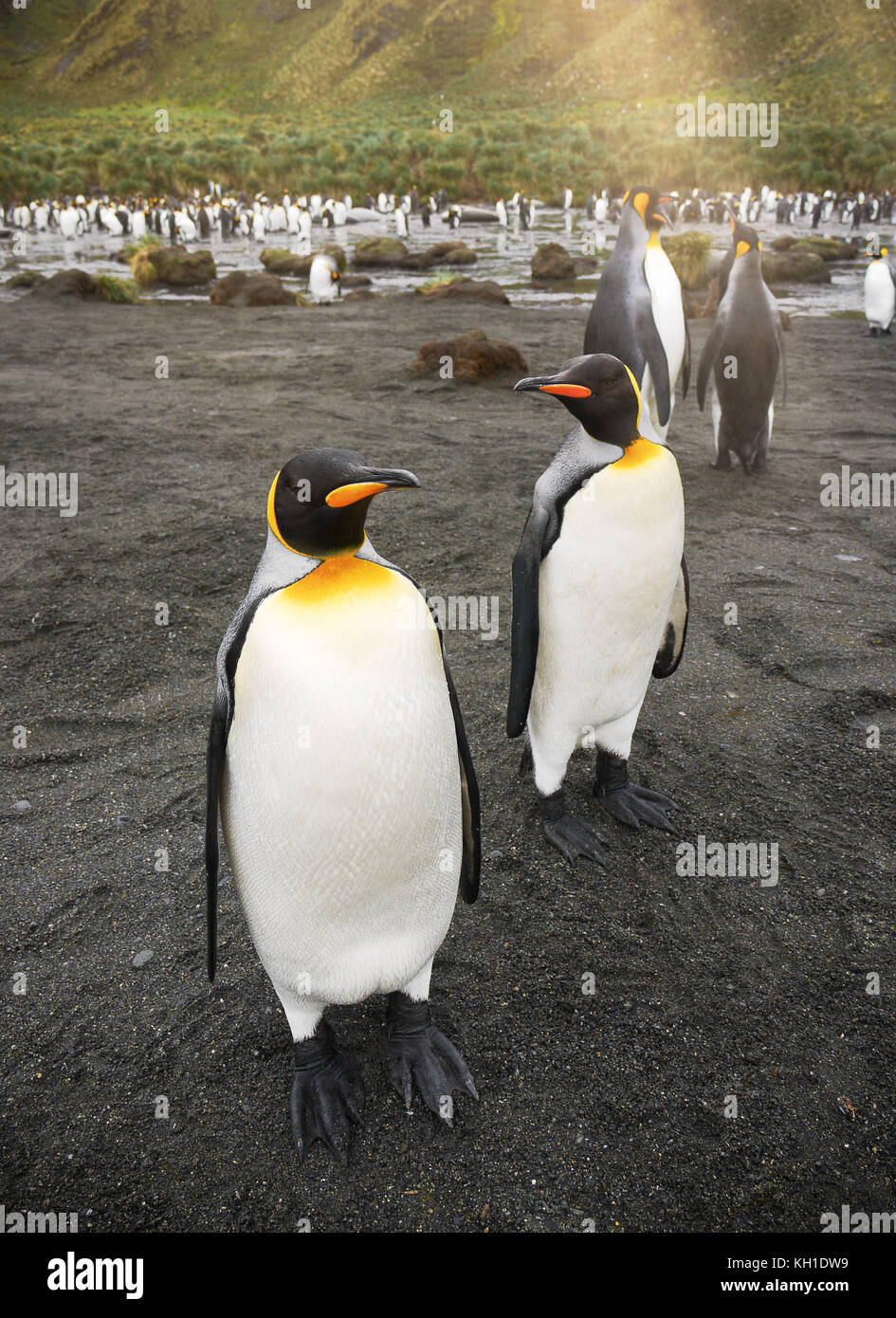 Vertical close-up of two adult king penguins (aptenodytes patagonicus) standing on black sand beach in front of Stock Photo