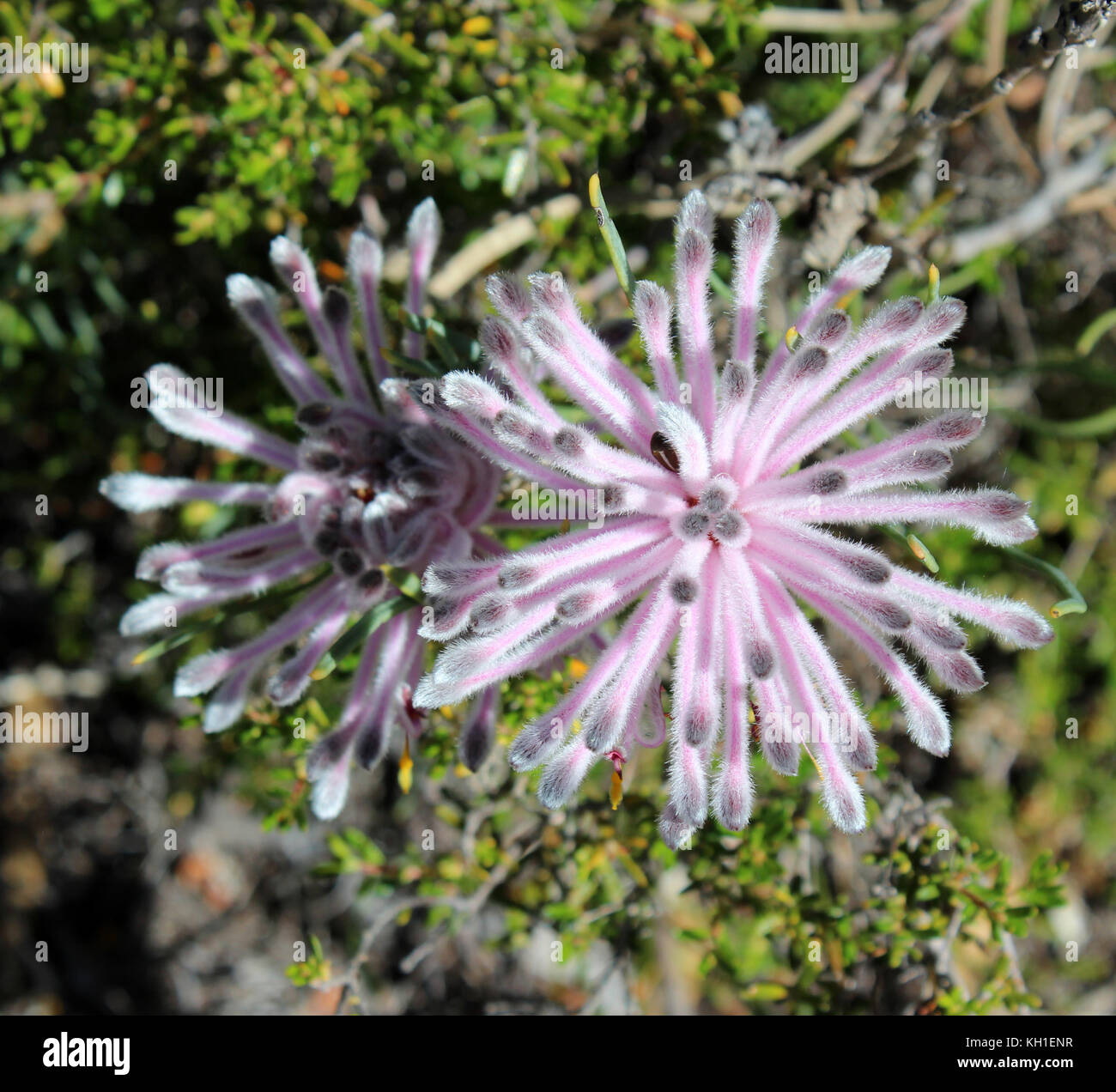 Petrophile linearis, pixie mops, a shrub in the plant genus Petrophile endemic to south-west Western Australia flowering - Stock Image