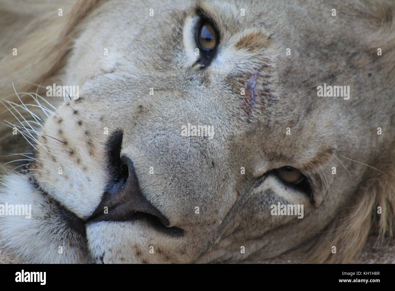 A resting young male lion taking on holiday in Hoedspruit, South Africa. - Stock Image