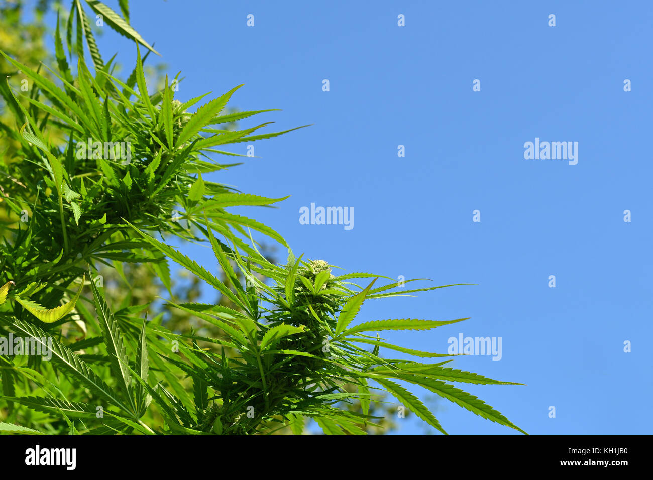 Cannabis plant at flowering stage growing outdoors - Stock Image