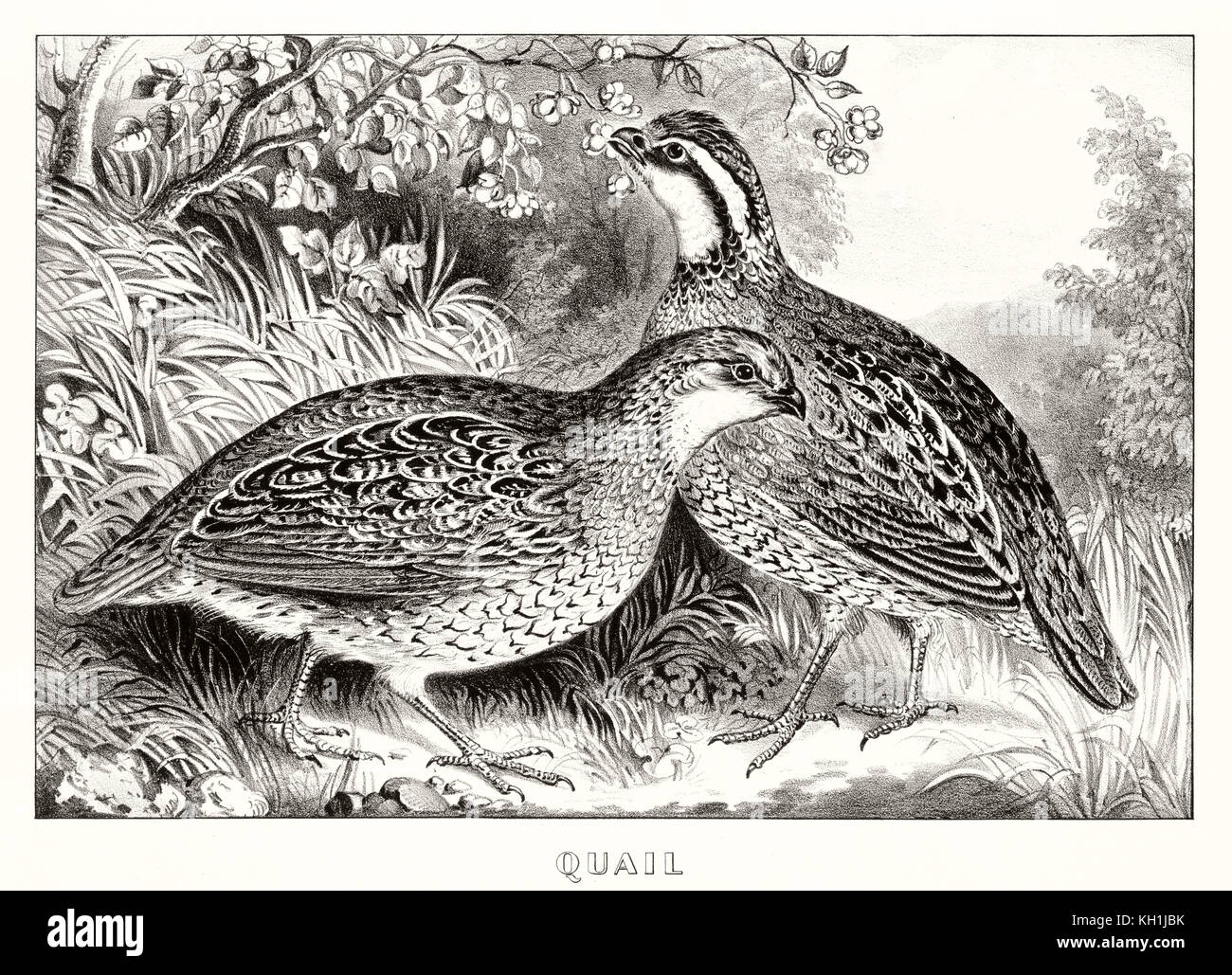 Old illustration of two quails (Coturnix coturnix). By Currier & Ives, publ. in New York, 1871 - Stock Image