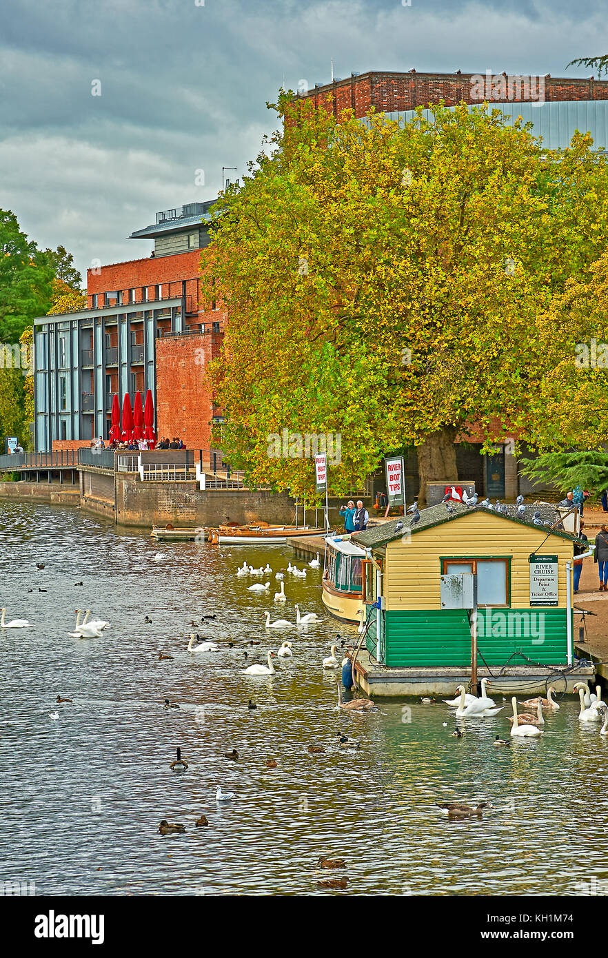 Mute swans and boats on the River Avon in Stratford upon Avon, outside the Royal Shakespeare Theatre, on an Autumn - Stock Image