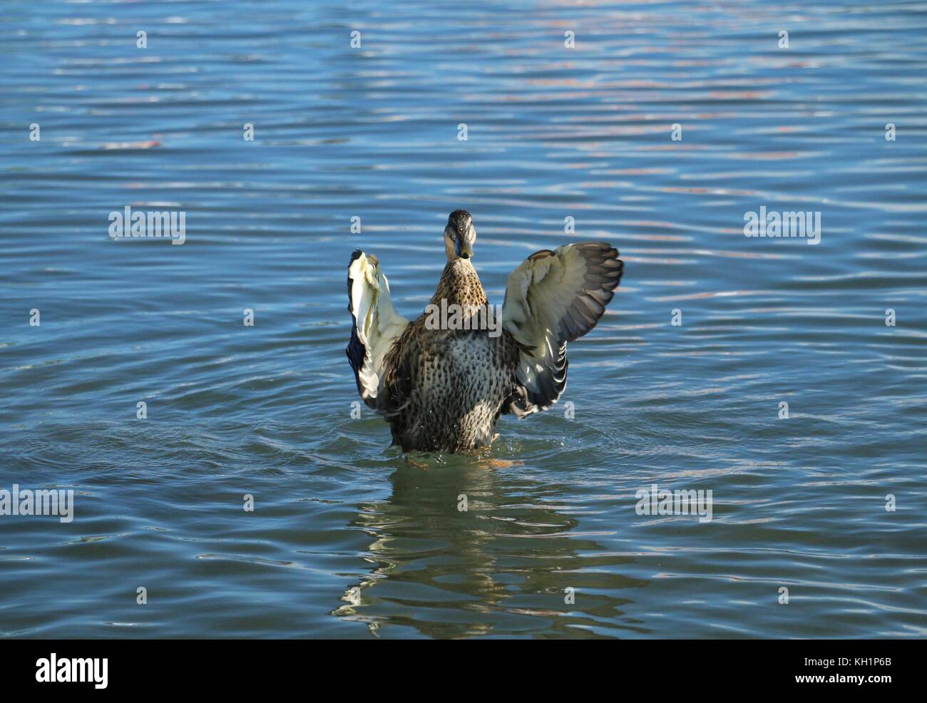 Duck flapping wings in water - Stock Image