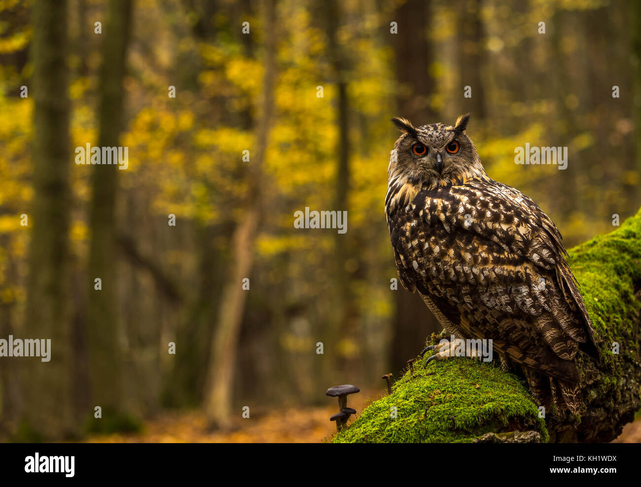 A captive Eagle Owl on grounds of a forest in autumn. - Stock Image