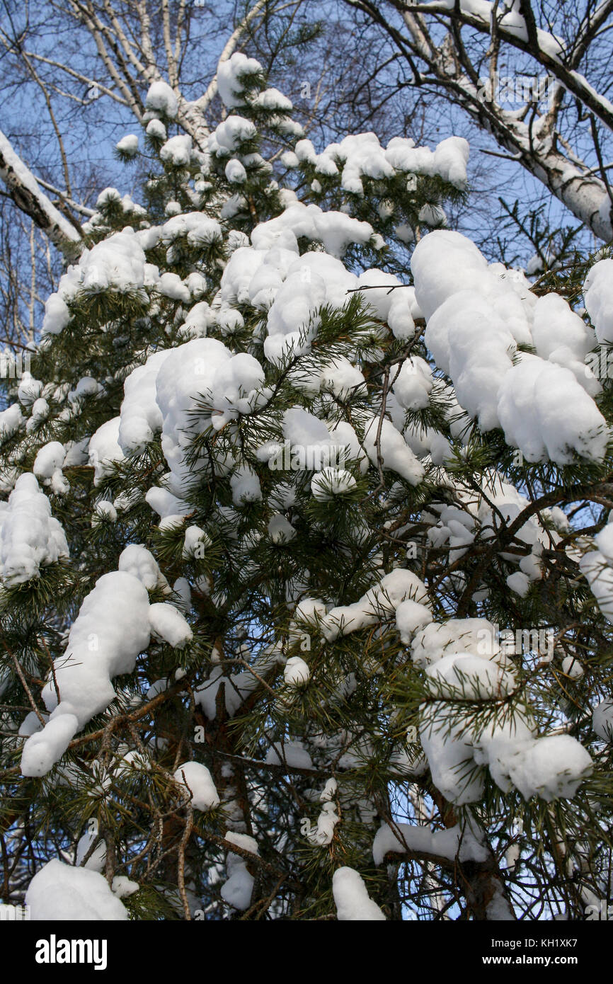 View to heavily snow-covered young pine. Low angle of shot. - Stock Image