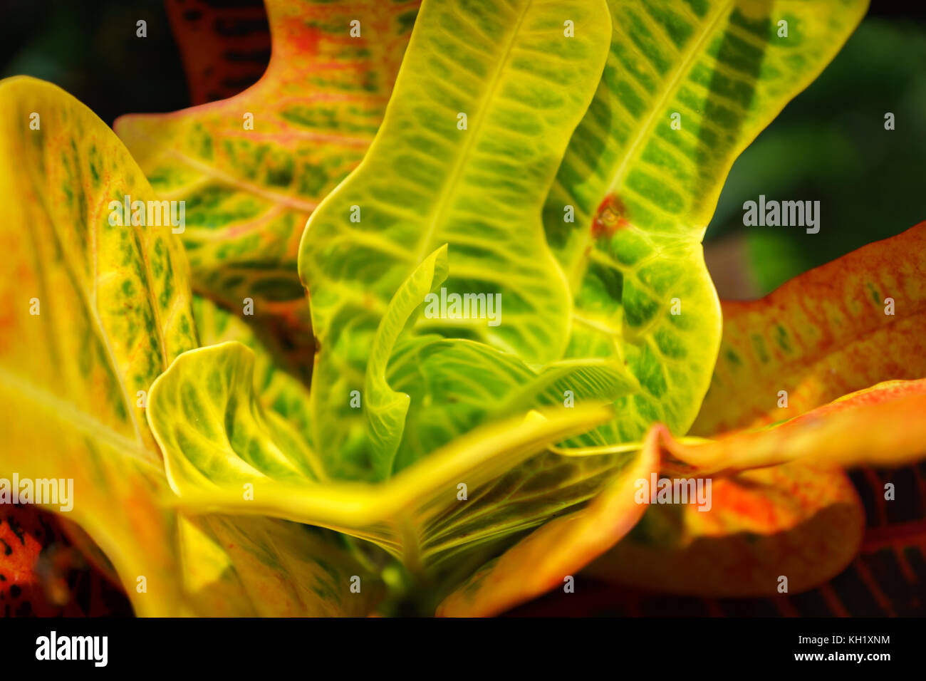 exotic plant / leaves with psychedelic colors close-up - abstract image - Stock Image
