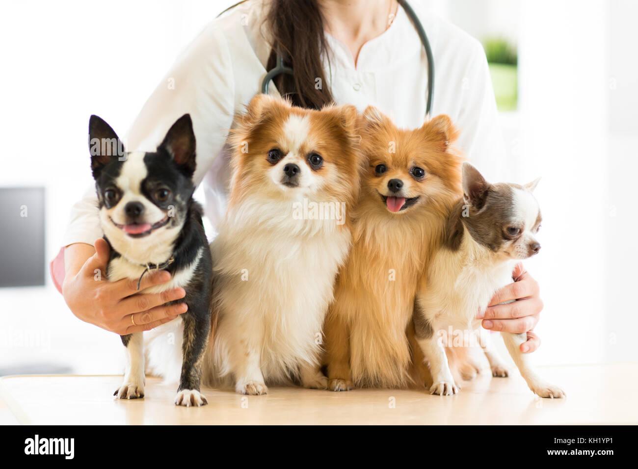 Female vet holding dogs in hospital - Stock Image