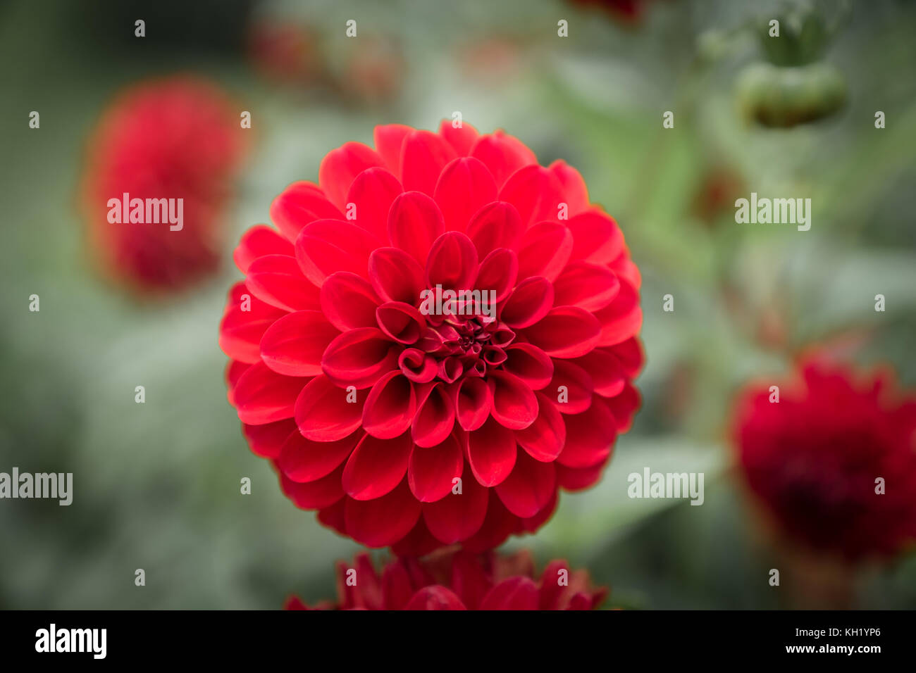 Dahlia flower in red and purple color - closeup with blurred Stock ...