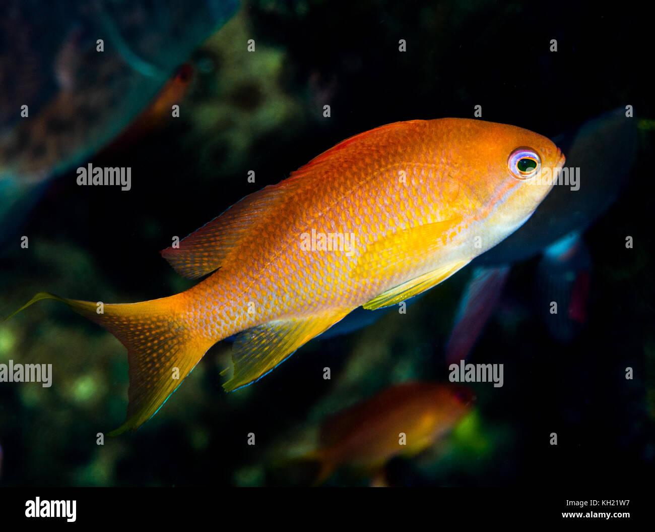 female luzon anthias fish - Stock Image