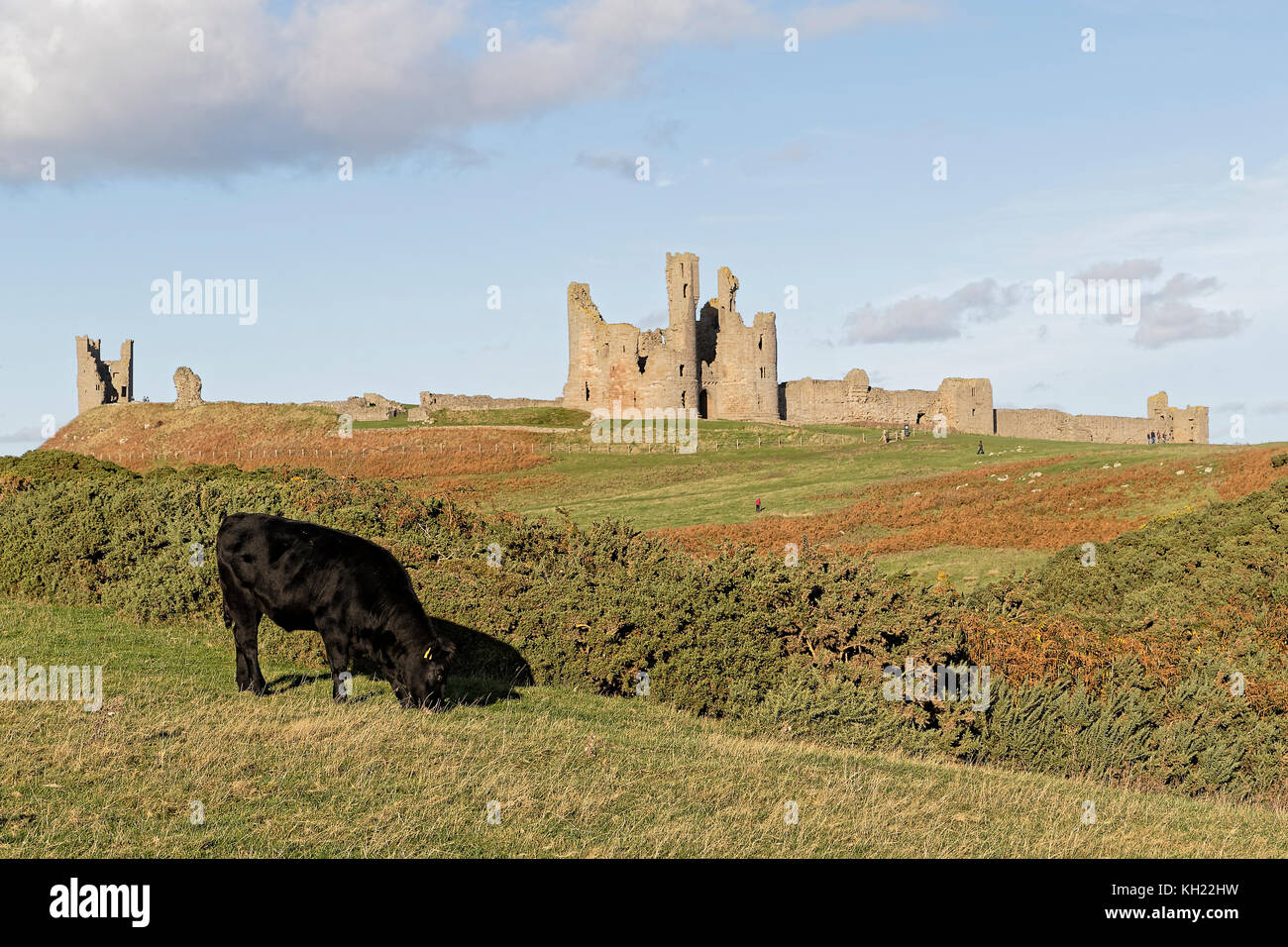 Dunstanburgh Castle headland with grazing bullock - Stock Image