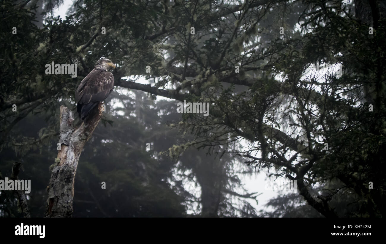 An immature/juvenile bald eagle sitting in a tree at camp on a foggy day(West Coast Trail, Vancouver Island, BC, Stock Photo