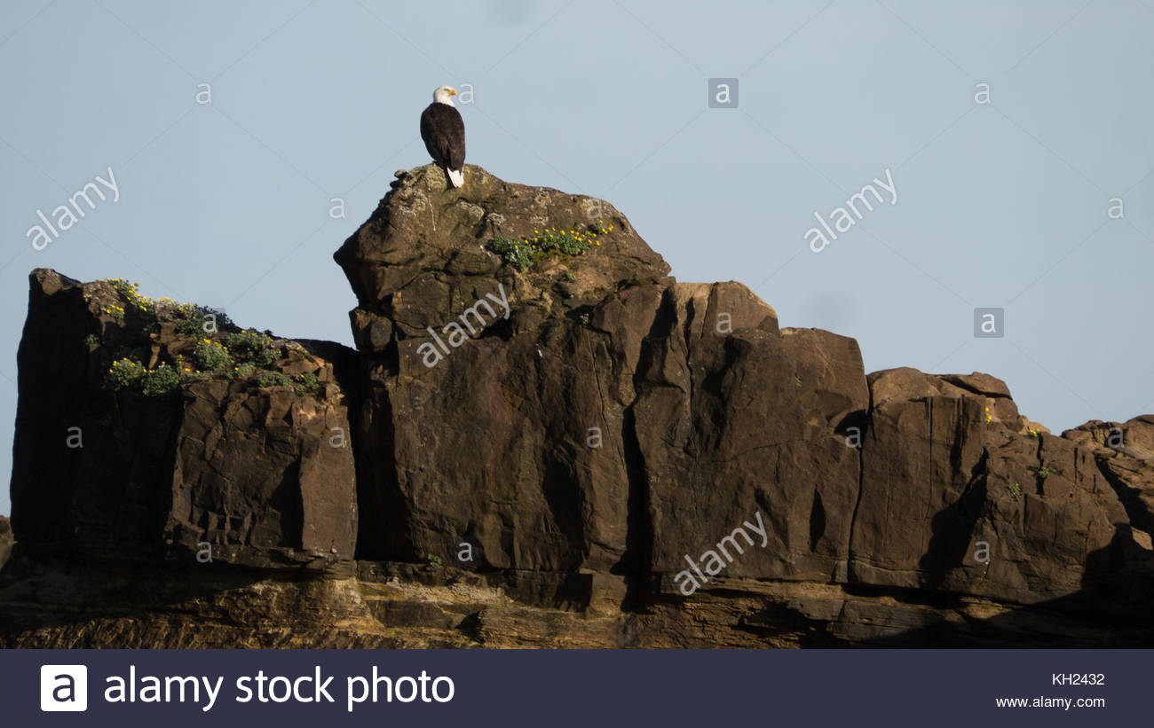 An adult bald Eagle  waiting on a rock along the trail (West Coast Trail, Vancouver Island, BC, Canada) Stock Photo