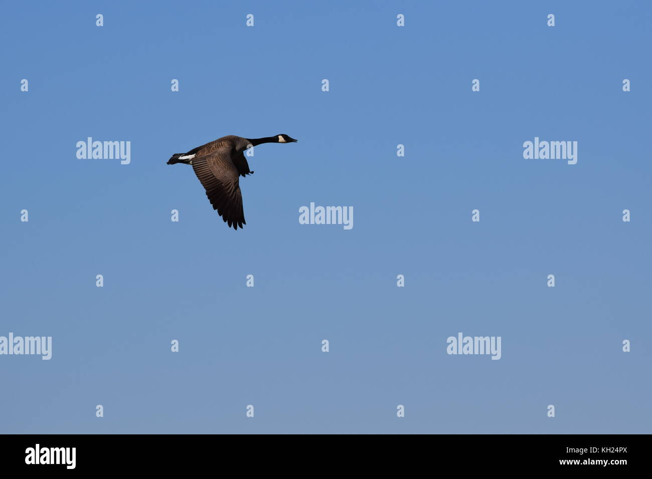 Canadian Goose in flight during fall migration in North America. - Stock Image